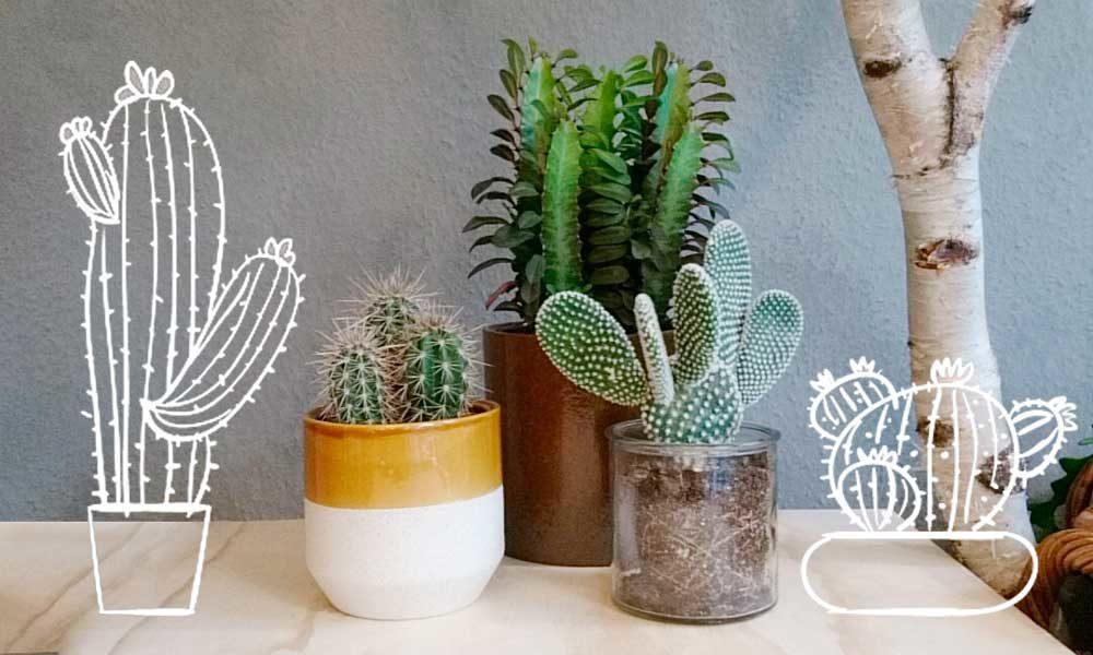 5 Gode Råd Om Kaktus Pleje