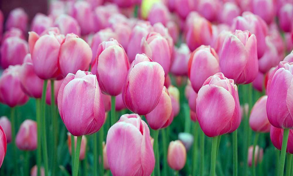 Sådan Får Du Dine Tulipaner Til At Holde Længere